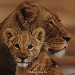 Eyes of Africa - African Lions