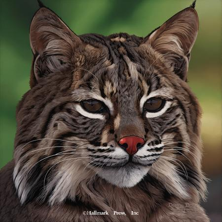 Eyes of North America - Bobcat