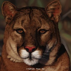 Eyes of North America - Cougar
